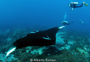 &quot; The Glider&quot; (Manta birostris) by Alberto Romeo 
